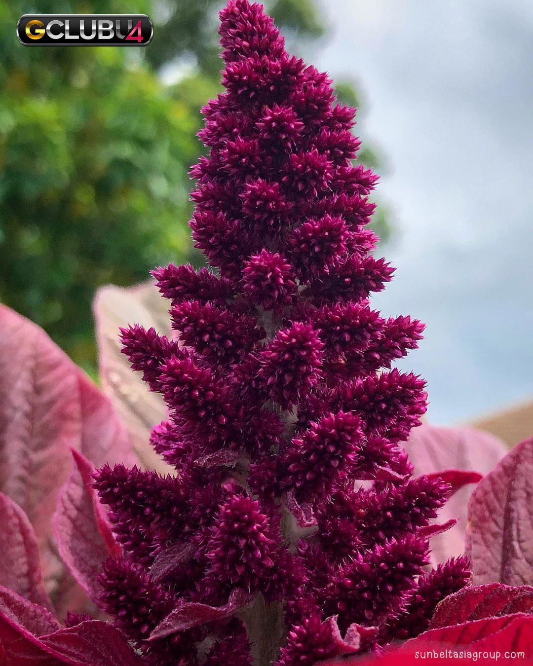 ดอกบานไม่รู้โรย Chaulai มีประโยชน์ต่อสุขภาพอย่างไร